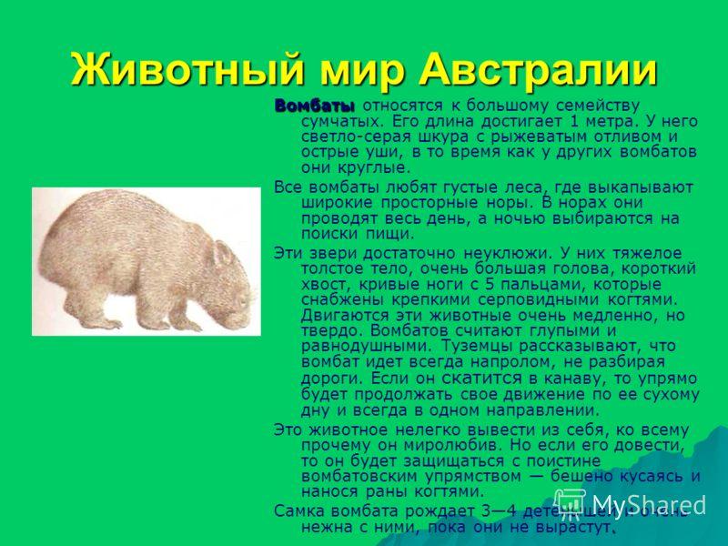 Животный мир Австралии Вомбаты Вомбаты относятся к большому семейству сумчатых. Его длина достигает 1 метра. У него светло-серая шкура с рыжеватым отливом и острые уши, в то время как у других вомбатов они круглые. Все вомбаты любят густые леса, где