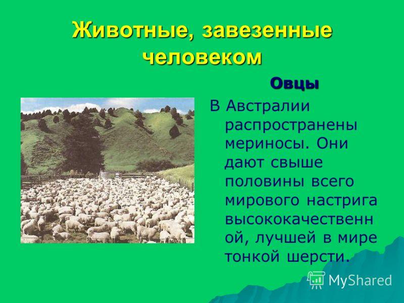 Животные, завезенные человеком Овцы В Австралии распространены мериносы. Они дают свыше половины всего мирового настрига высококачественн ой, лучшей в мире тонкой шерсти.