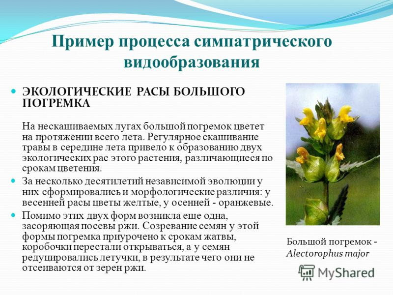ЭКОЛОГИЧЕСКИЕ РАСЫ БОЛЬШОГО ПОГРЕМКА На нескашиваемых лугах большой погремок цветет на протяжении всего лета. Регулярное скашивание травы в середине лета привело к образованию двух экологических рас этого растения, различающиеся по срокам цветения. З
