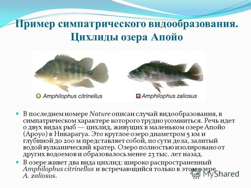 Пример симпатрического видообразования. Цихлиды озера Апойо В последнем номере Nature описан случай видообразования, в симпатрическом характере которого трудно усомниться. Речь идет о двух видах рыб цихлид, живущих в маленьком озере Апойо (Apoyo) в Н