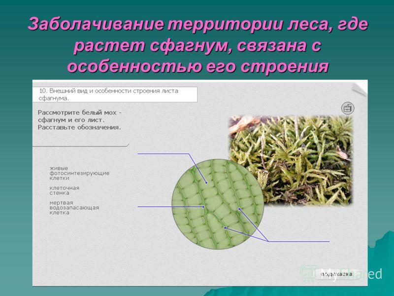 Заболачивание территории леса, где растет сфагнум, связана с особенностью его строения