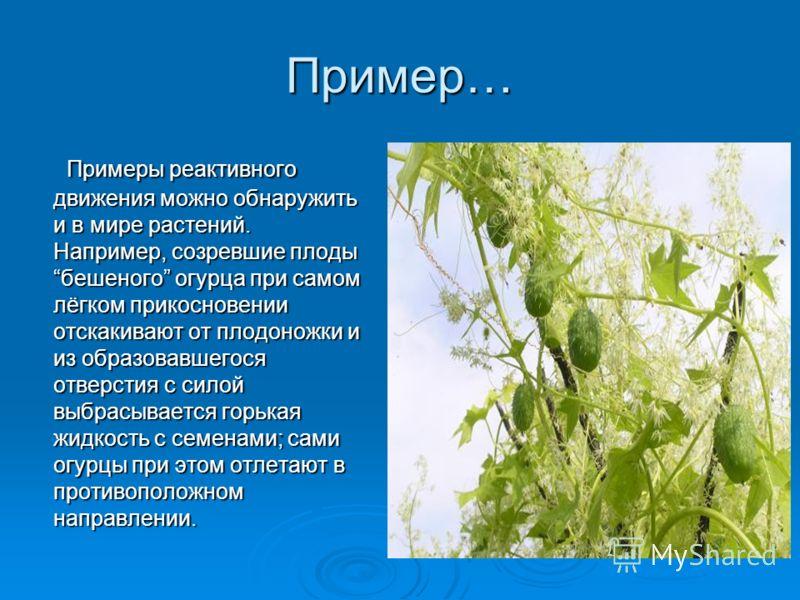 Пример… Примеры реактивного движения можно обнаружить и в мире растений. Например, созревшие плоды бешеного огурца при самом лёгком прикосновении отскакивают от плодоножки и из образовавшегося отверстия с силой выбрасывается горькая жидкость с семена