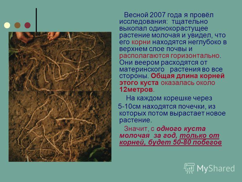 Весной 2007 года я провёл исследования: тщательно выкопал одинокорастущее растение молочая и увидел, что его корни находятся неглубоко в верхнем слое почвы и располагаются горизонтально. Они веером расходятся от материнского растения во все стороны.