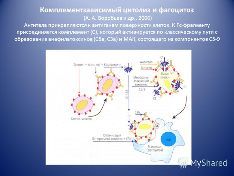 2. Патохимическая стадия. Выделяют 3 механизма реализации: 1.Комплемент-зависимый цитолиз (активируется комплемент образуется мембрано-атакующий комплекс С5-С9 повреждение клеточных мембран гибель клетки) 2.Фагоцитоз (фиксированные на клетках IgM и I