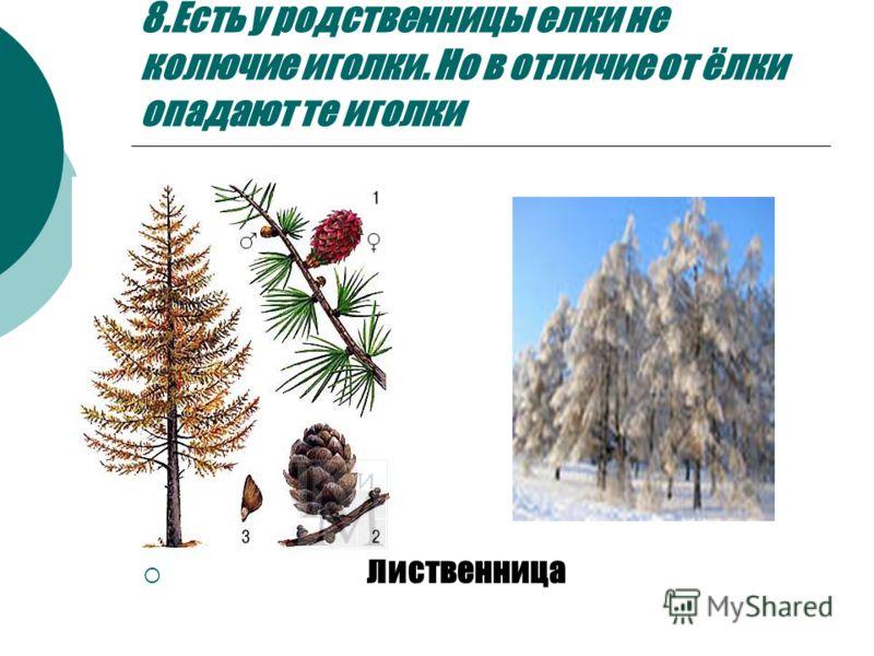 8.Есть у родственницы елки не колючие иголки. Но в отличие от ёлки опадают те иголки Лиственница
