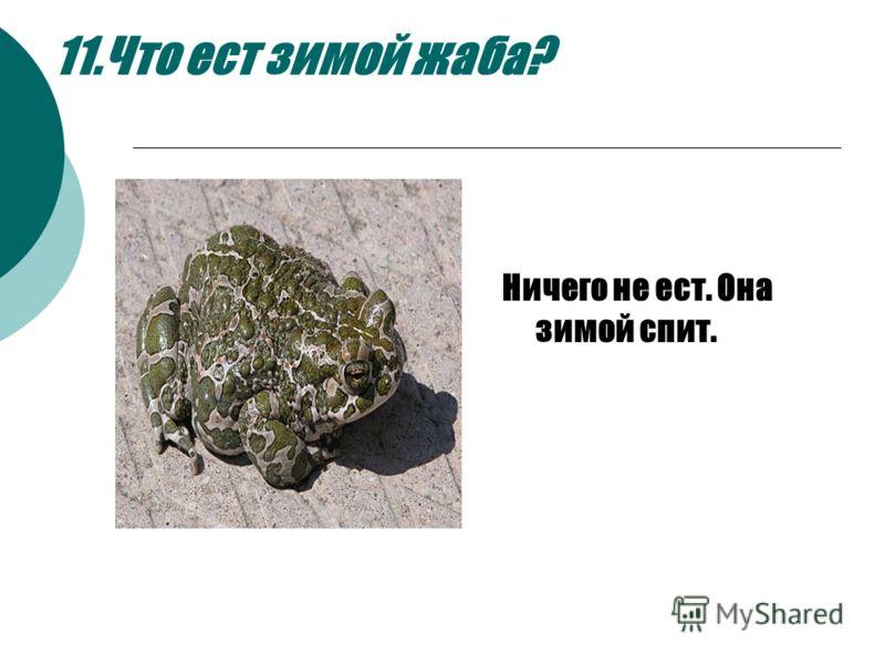 11.Что ест зимой жаба? Ничего не ест. Она зимой спит. Ничего не ест. Она зимой спит.Ничего не ест. Она зимой спит.