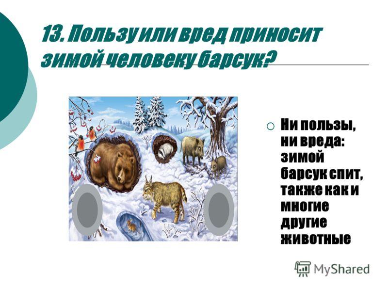 13. Пользу или вред приносит зимой человеку барсук? Ни пользы, ни вреда: зимой барсук спит, также как и многие другие животные