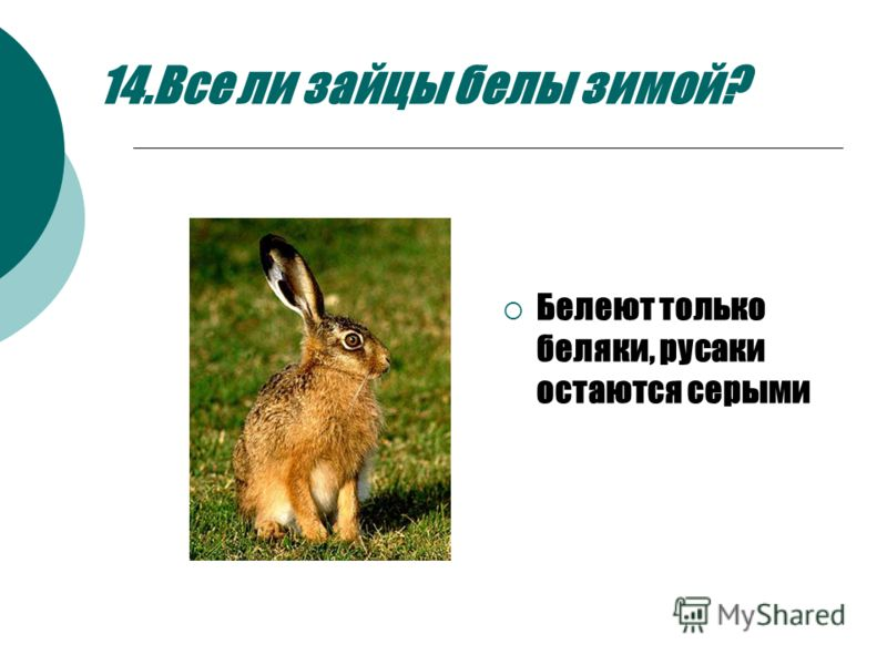 14.Все ли зайцы белы зимой? Белеют только беляки, русаки остаются серыми
