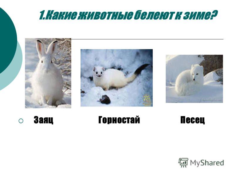 1.Какие животные белеют к зиме? Заяц Горностай Песец