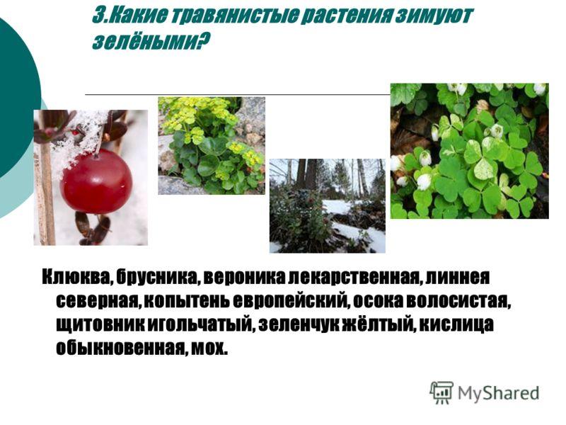 3.Какие травянистые растения зимуют зелёными? Клюква, брусника, вероника лекарственная, линнея северная, копытень европейский, осока волосистая, щитовник игольчатый, зеленчук жёлтый, кислица обыкновенная, мох.