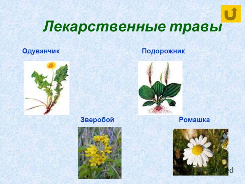 Лекарственные травы Одуванчик Подорожник Зверобой Ромашка