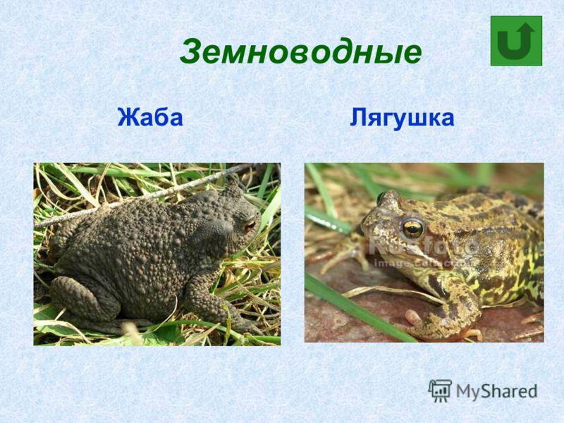 Земноводные Жаба Лягушка