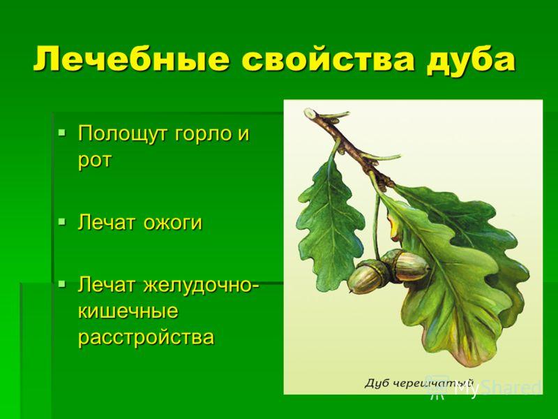 Лечебные свойства дуба Полощут горло и рот Полощут горло и рот Лечат ожоги Лечат ожоги Лечат желудочно- кишечные расстройства Лечат желудочно- кишечные расстройства