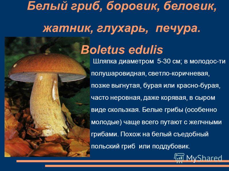 Белый гриб, боровик, беловик, жатник, глухарь, печура. Boletus edulis Шляпка диаметром 5-30 см; в молодос-ти полушаровидная, светло-коричневая, позже выгнутая, бурая или красно-бурая, часто неровная, даже корявая, в сыром виде скользкая. Белые грибы