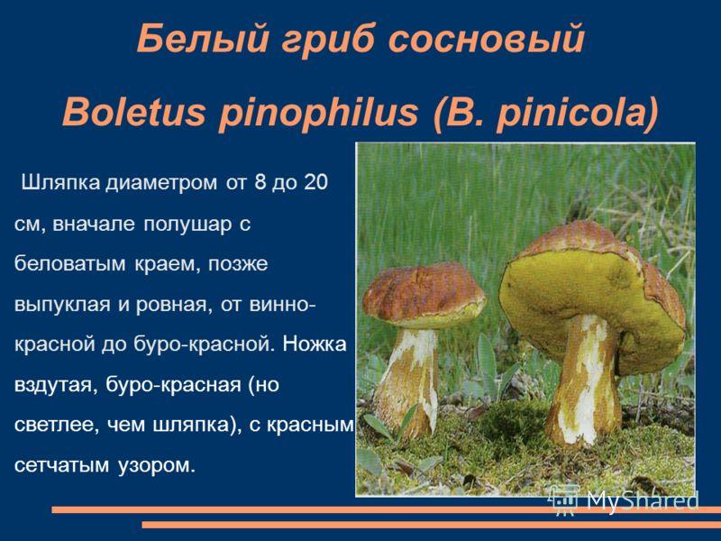 Белый гриб сосновый Boletus pinophilus (B. pinicola) Шляпка диаметром от 8 до 20 см, вначале полушар с беловатым краем, позже выпуклая и ровная, от винно- красной до буро-красной. Ножка вздутая, буро-красная (но светлее, чем шляпка), с красным сетчат
