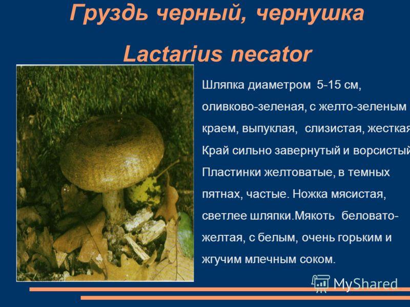 Груздь черный, чернушка Lactarius necator Шляпка диаметром 5-15 см, оливково-зеленая, с желто-зеленым краем, выпуклая, слизистая, жесткая. Край сильно завернутый и ворсистый. Пластинки желтоватые, в темных пятнах, частые. Ножка мясистая, светлее шляп