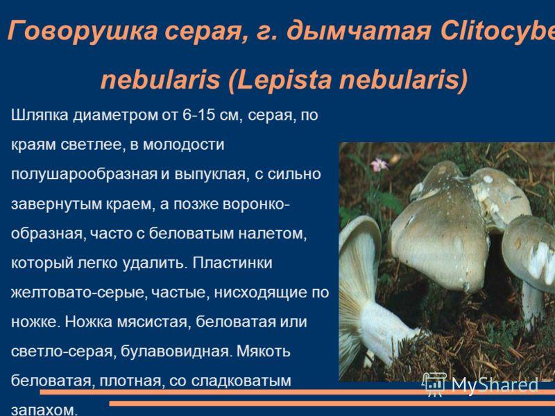 Говорушка серая, г. дымчатая Clitocybe nebularis (Lepista nebularis) Шляпка диаметром от 6-15 см, серая, по краям светлее, в молодости полушарообразная и выпуклая, с сильно завернутым краем, а позже воронко- образная, часто с беловатым налетом, котор