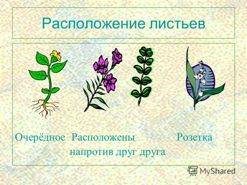 6 Расположение листьев Очерёдное Расположены Розетка напротив друг друга