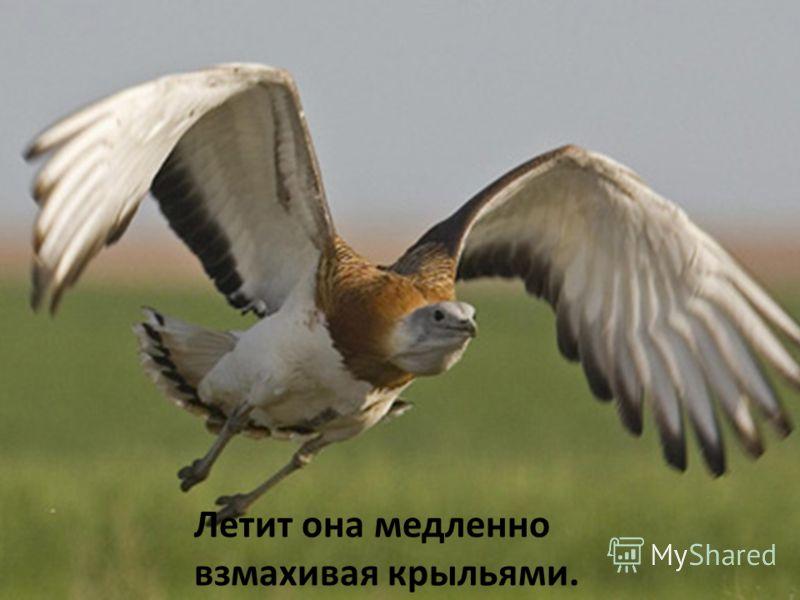Дрофа считается самой большой из современных летающих птиц, достигает массы 19 кг.