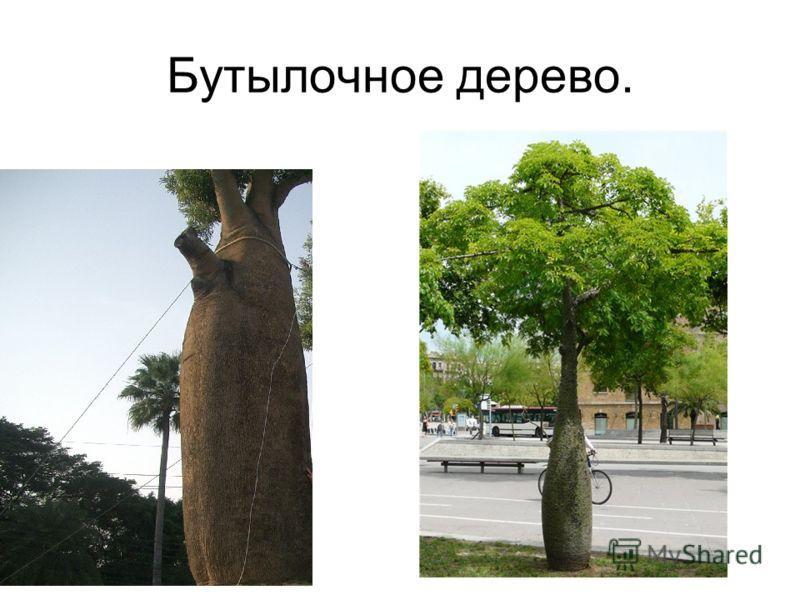 Бутылочное дерево.