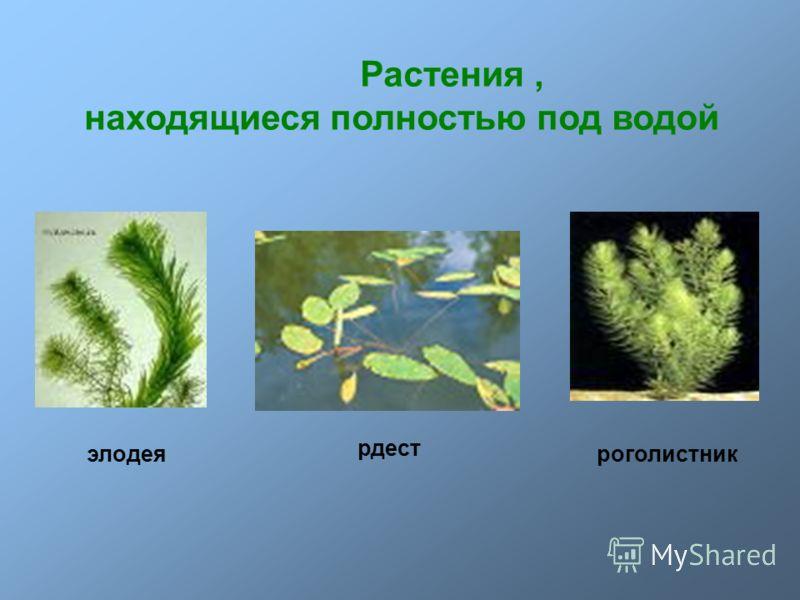 Растения, находящиеся полностью под водой роголистникэлодея рдест