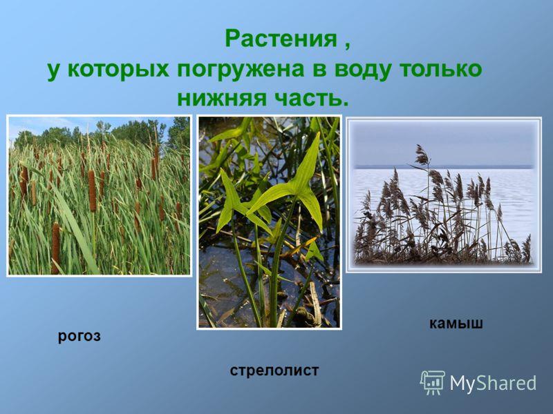 Растения, у которых погружена в воду только нижняя часть. рогоз стрелолист камыш