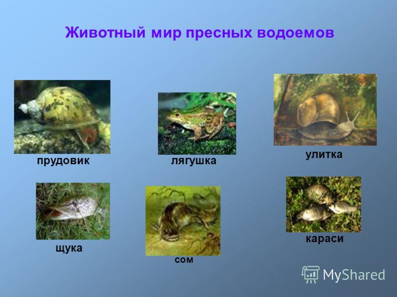 прудовикулитка щука сом караси лягушка Животный мир пресных водоемов