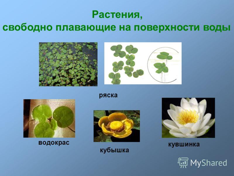 Растения, свободно плавающие на поверхности воды ряска водокрас кубышка кувшинка