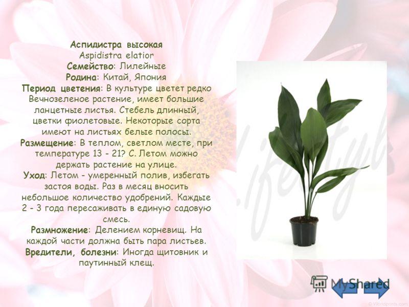 Аспидистра высокая Aspidistra elatior Семейство: Лилейные Родина: Китай, Япония Период цветения: В культуре цветет редко Вечнозеленое растение, имеет большие ланцетные листья. Стебель длинный, цветки фиолетовые. Некоторые сорта имеют на листьях белые