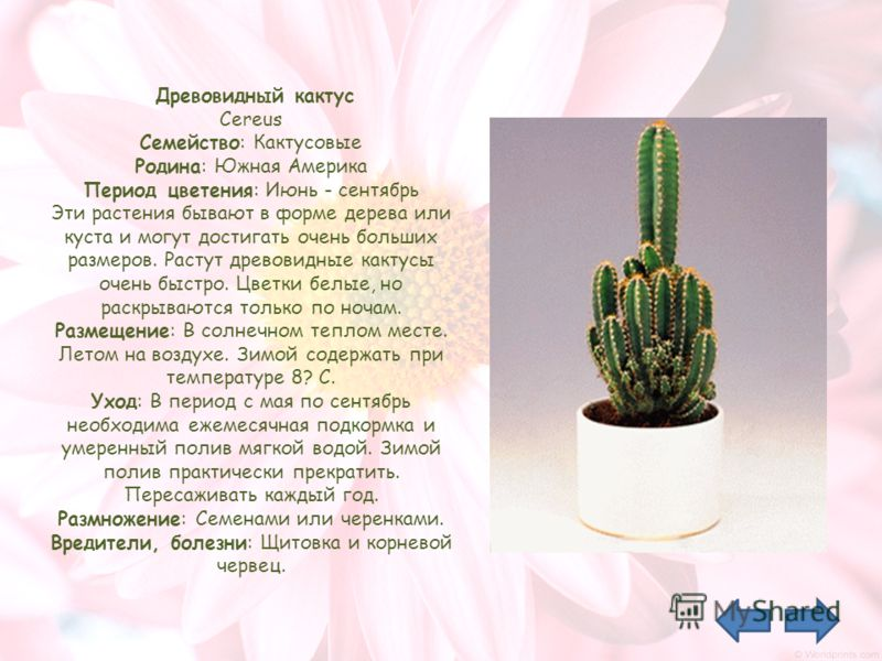 Древовидный кактус Cereus Семейство: Кактусовые Родина: Южная Америка Период цветения: Июнь - сентябрь Эти растения бывают в форме дерева или куста и могут достигать очень больших размеров. Растут древовидные кактусы очень быстро. Цветки белые, но ра