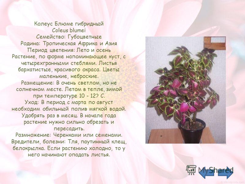 Колеус Блюме гибридный Coleus blumei Семейство: Губоцветные Родина: Тропическая Африка и Азия Период цветения: Лето и осень Растение, по форме напоминающее куст, с четырехгранными стеблями. Листья бархатистые, красивого окраса. Цветы маленькие, небро