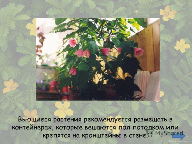 Вьющиеся растения рекомендуется размещать в контейнерах, которые вешаются под потолком или крепятся на кронштейны в стене.