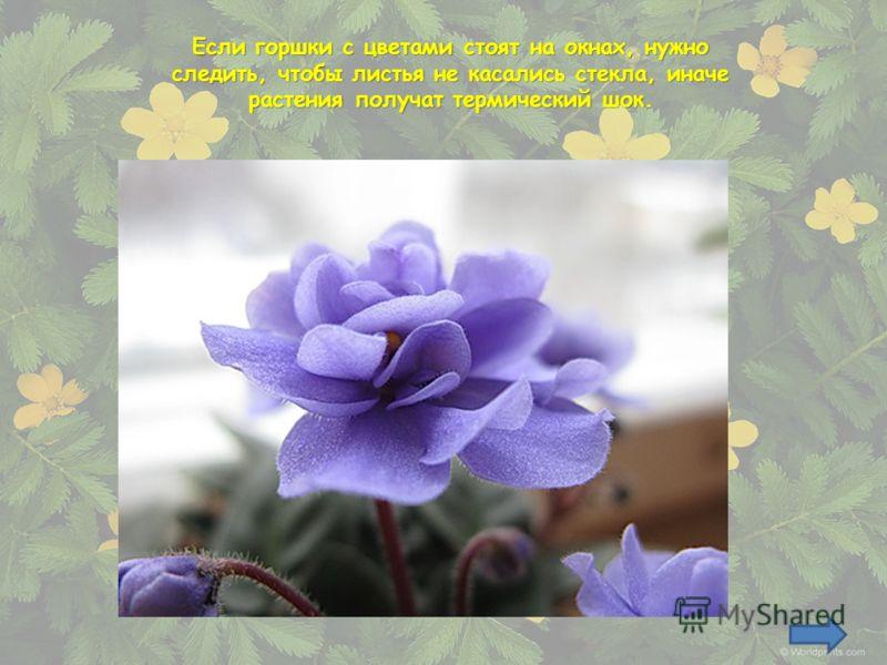 Если горшки с цветами стоят на окнах, нужно следить, чтобы листья не касались стекла, иначе растения получат термический шок.