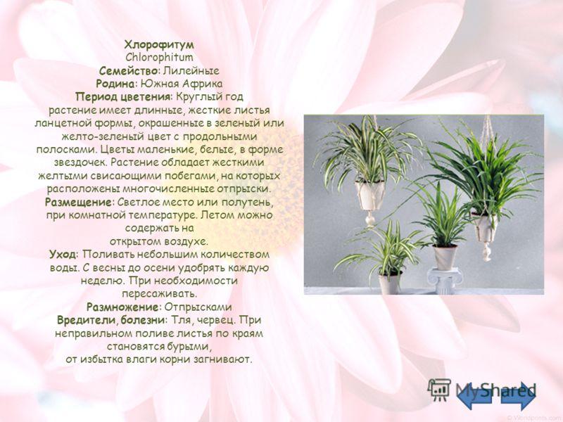 Хлорофитум Chlorophitum Семейство: Лилейные Родина: Южная Африка Период цветения: Круглый год растение имеет длинные, жесткие листья ланцетной формы, окрашенные в зеленый или желто-зеленый цвет с продольными полосками. Цветы маленькие, белые, в форме