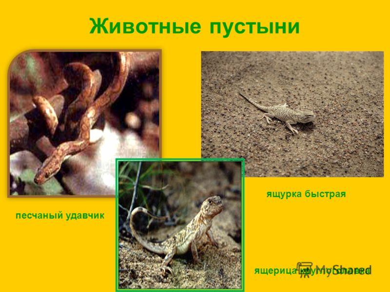 Животные пустыни песчаный удавчик ящурка быстрая ящерица круглоголовка