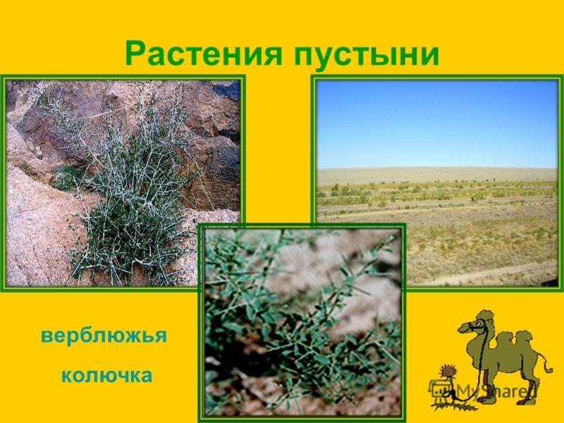 Растения пустыни верблюжья колючка