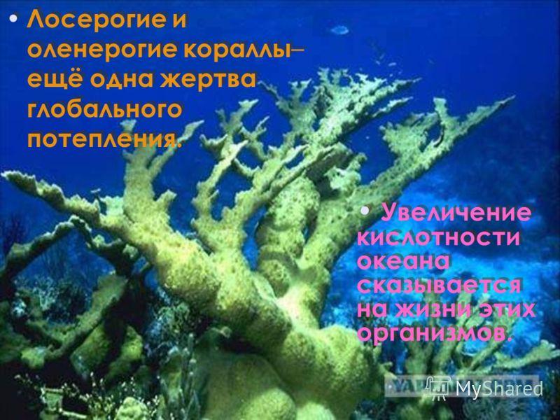 Лосерогие и оленерогие кораллы – ещё одна жертва глобального потепления. Увеличение кислотности океана сказывается на жизни этих организмов.
