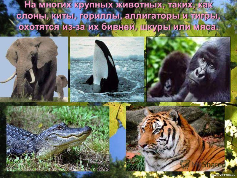 На многих крупных животных, таких, как слоны, киты, гориллы, аллигаторы и тигры, охотятся из-за их бивней, шкуры или мяса.
