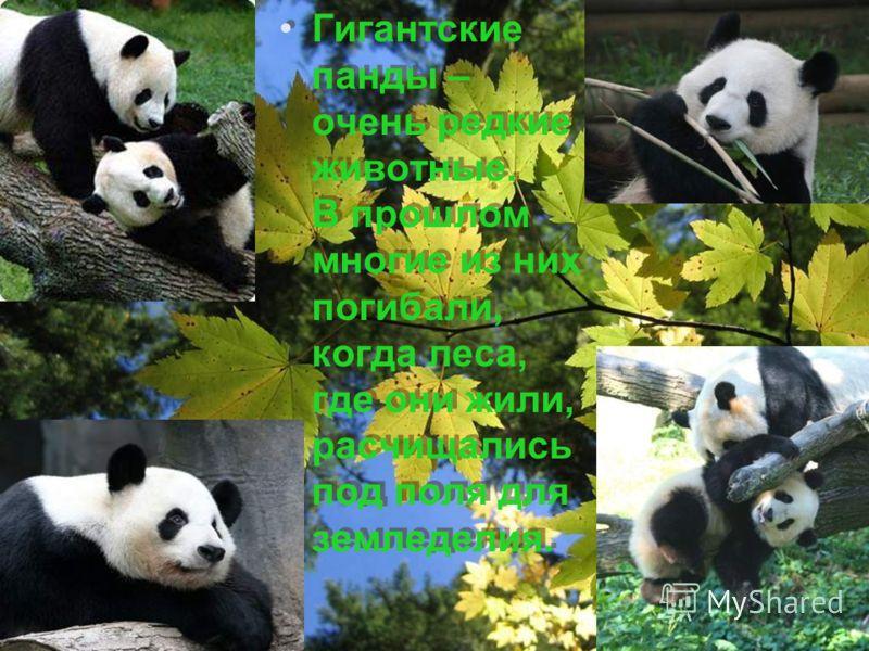Гигантские панды – очень редкие животные. В прошлом многие из них погибали, когда леса, где они жили, расчищались под поля для земледелия.