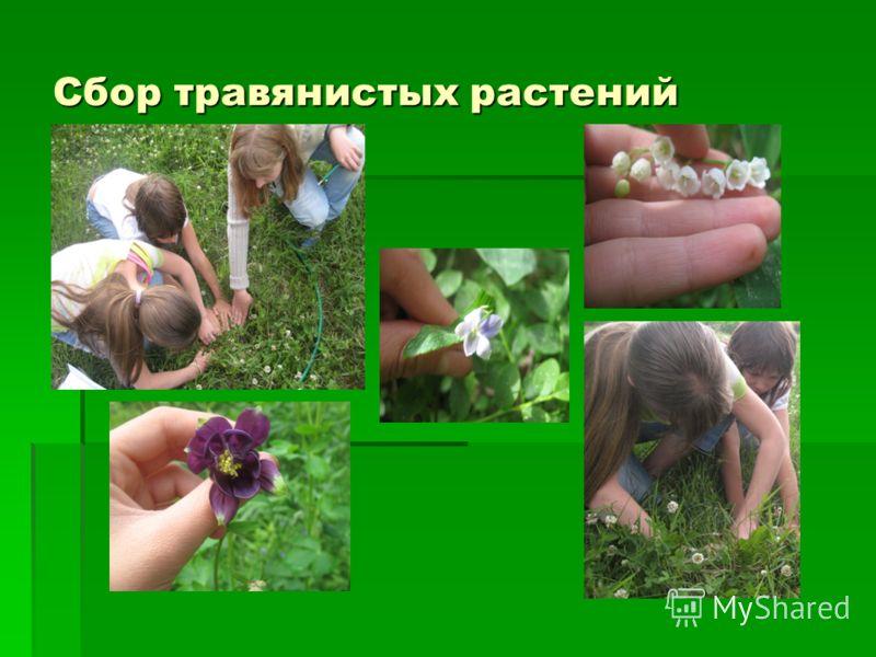 Сбор травянистых растений
