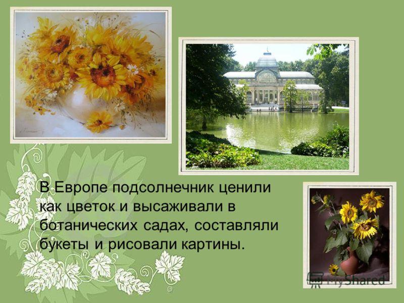 В Европе подсолнечник ценили как цветок и высаживали в ботанических садах, составляли букеты и рисовали картины.