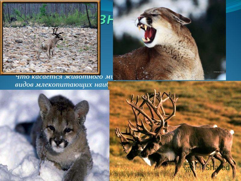 Что касается животного мира заповедника, то из 40 видов млекопитающих наиболее заметны, пожалуй, копытные: лоси, северные олени, кабарга. Порой мелькнет среди бурелома рыжий бок изюбря, а изредка на лесной тропе можно вспугнуть грациозную косулю. Раб
