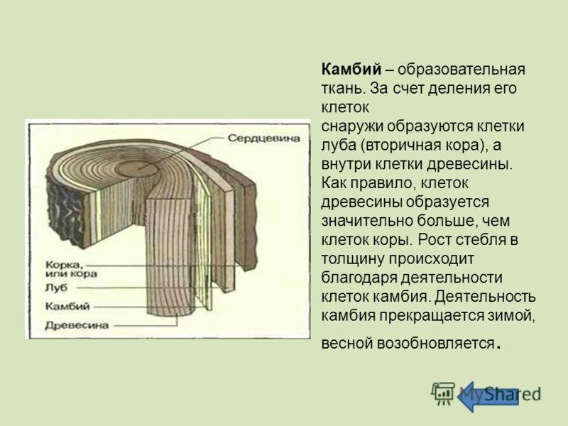 Камбий – образовательная ткань. За счет деления его клеток снаружи образуются клетки луба (вторичная кора), а внутри клетки древесины. Как правило, клеток древесины образуется значительно больше, чем клеток коры. Рост стебля в толщину происходит благ