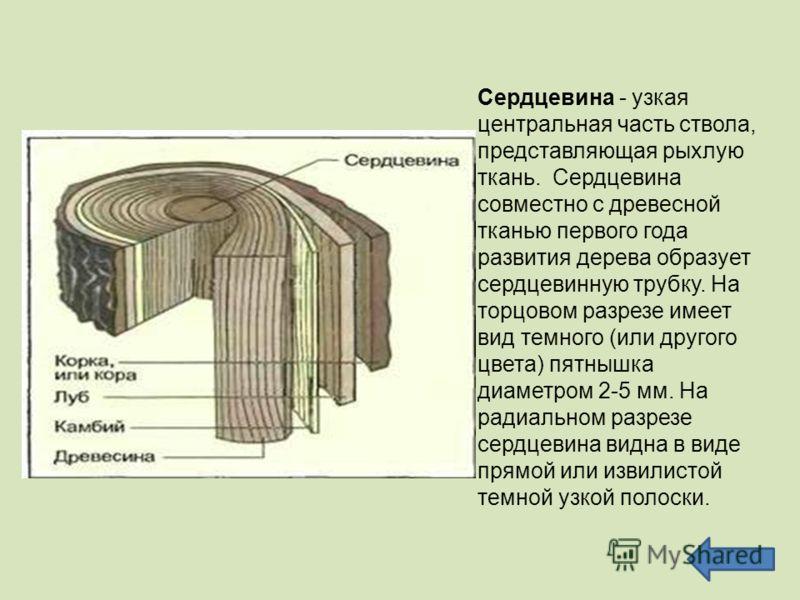 Сердцевина - узкая центральная часть ствола, представляющая рыхлую ткань. Сердцевина совместно с древесной тканью первого года развития дерева образует сердцевинную трубку. На торцовом разрезе имеет вид темного (или другого цвета) пятнышка диаметром