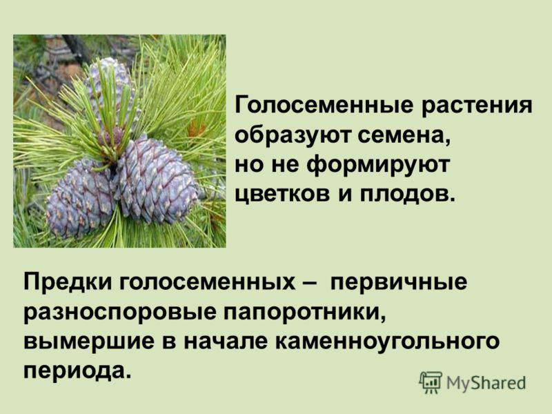 Голосеменные растения образуют семена, но не формируют цветков и плодов. Предки голосеменных – первичные разноспоровые папоротники, вымершие в начале каменноугольного периода.