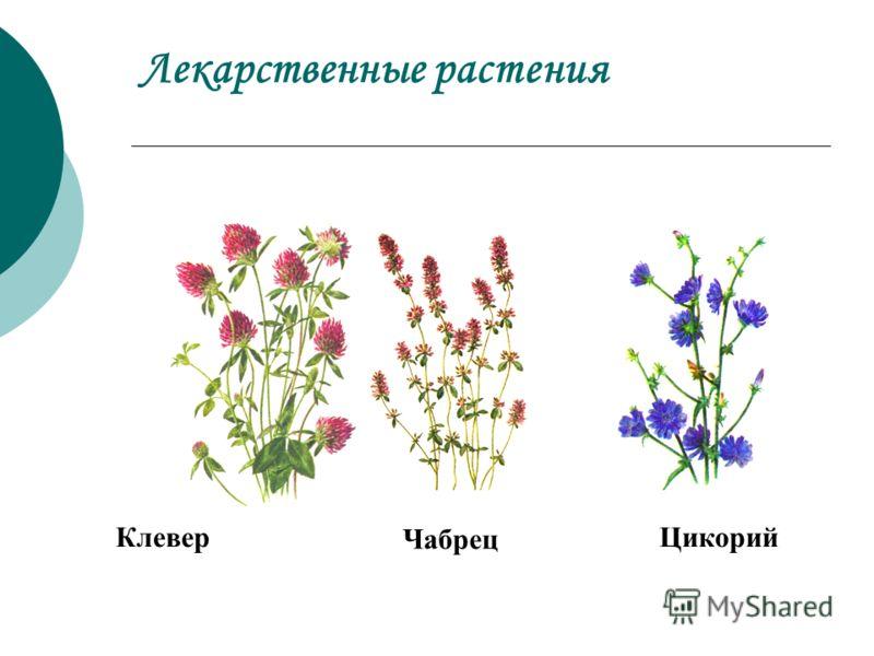Лекарственные растения Клевер Чабрец Цикорий