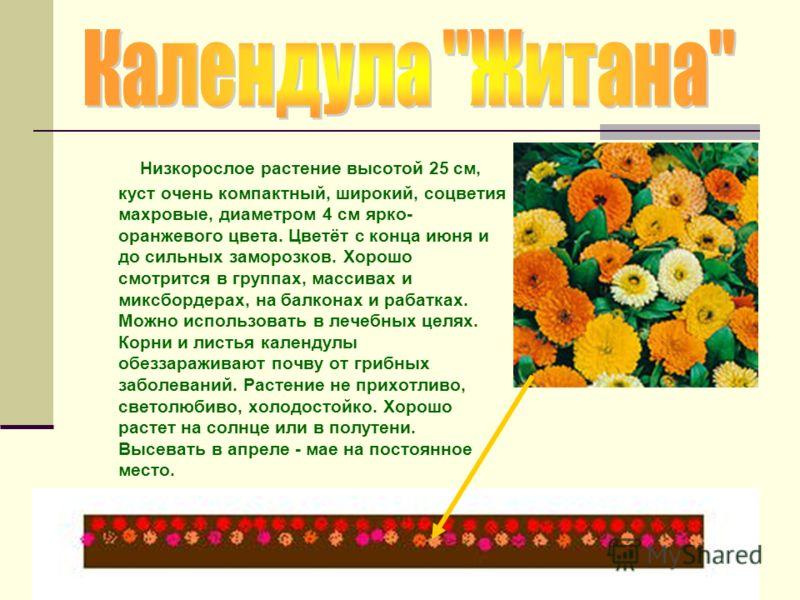 Низкорослое растение высотой 25 см, куст очень компактный, широкий, соцветия махровые, диаметром 4 см ярко- оранжевого цвета. Цветёт с конца июня и до сильных заморозков. Хорошо смотрится в группах, массивах и миксбордерах, на балконах и рабатках. Мо