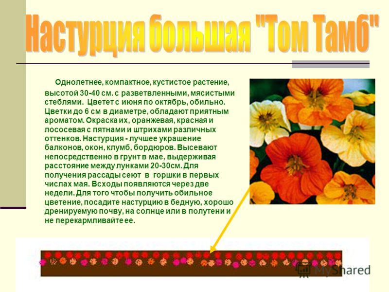 Однолетнее, компактное, кустистое растение, высотой 30-40 см. с разветвленными, мясистыми стеблями. Цветет с июня по октябрь, обильно. Цветки до 6 см в диаметре, обладают приятным ароматом. Окраска их, оранжевая, красная и лососевая с пятнами и штрих