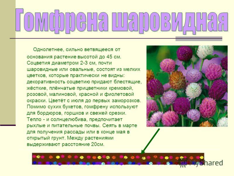 Однолетнее, сильно ветвящееся от основания растение высотой до 45 см. Соцветия диаметром 2-3 см, почти шаровидные или овальные, состоят из мелких цветков, которые практически не видны: декоративность соцветию придают блестящие, жёсткие, плёнчатые при