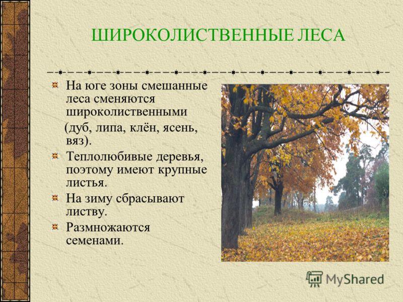 СМЕШАННЫЕ ЛЕСА Располагаются к югу от тайги. Наряду с хвойными деревьями растут и лиственные. Зима мягче, чем в тайге. Листья некрупные. Сбрасывают листву на зиму.